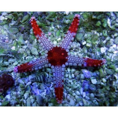 Fromia Nodosa-Red Elegant Starfish