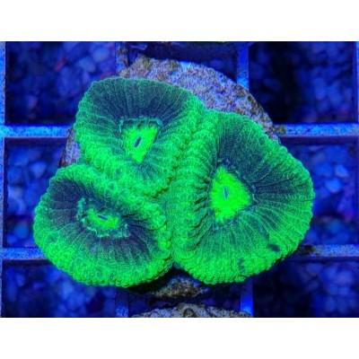 Goniastrea Toxic Green-Frag #2