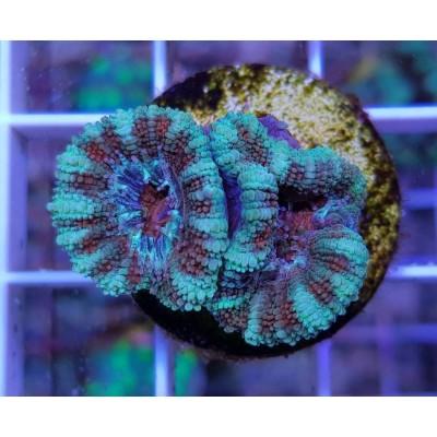 Acanthastrea Lordhowensis Frag