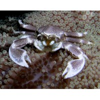 Neopetrolisthes sp.-Anemone Crab