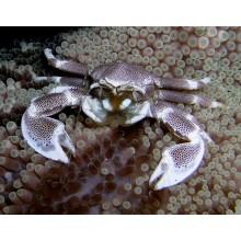 Neopetrolisthes sp.-Anemone Crab