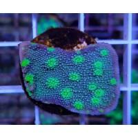 Oxypora-Blue/Green Chalice Frag #2
