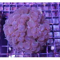 Plerogyra sinuosa (Bubble Coral)