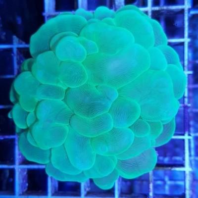 Plerogyra sinuosa (Bubble Coral)