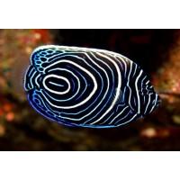 Pomacanthus Imperator-Emperor Angelfish
