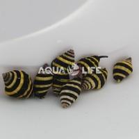 Melc Engina Medicaria- Bumble Bee Snail