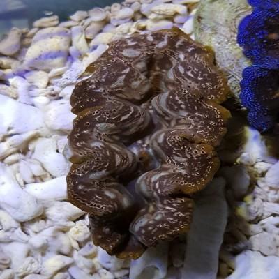 Tridacna Maxima 6-8cm