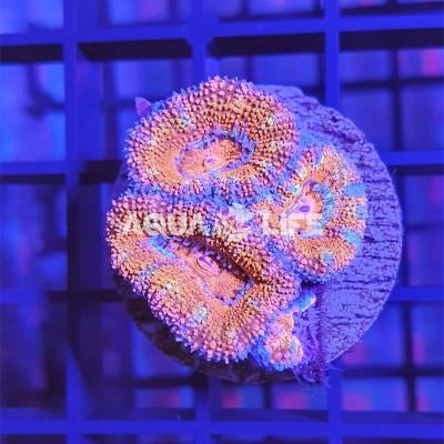 Wysiwyg Acanthastrea Lordowensis Ultra Aus. #2