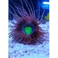 Cerianthus sp (Tube Anemone )