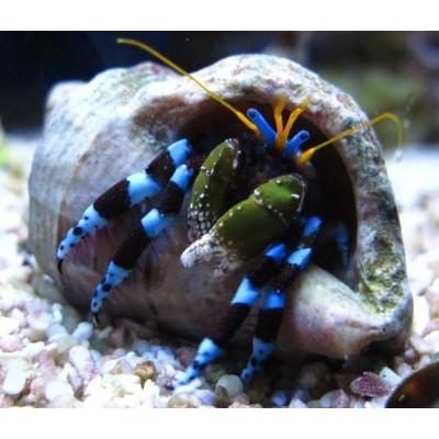 Hermit Crab Blue Leg