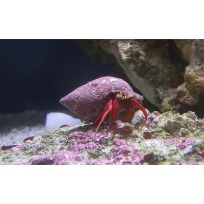 Hermit Crab Red Leg