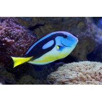Paracanthurus Hepatus Yellow Belly