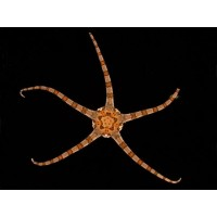 Stea Brittle Star-Ophioderma sp.