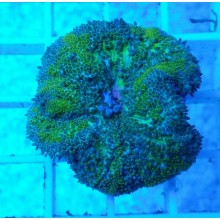 Anemona Mini Carpet (Stichodactyla Tapetum)
