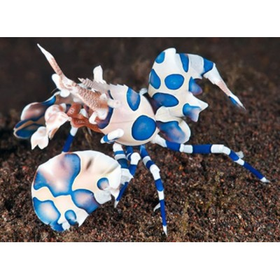 Crevete Hymenocera Elegans -Harlequin Shrimp