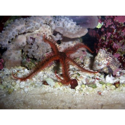 Stea Red Brittle Star (Ophioderma sp.)