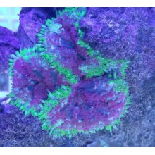 Mini Carpet Anemone (Stichodactyla Tapetum)