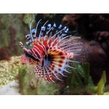 Pterois Antennata (Lionfish)