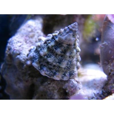 Melc Tectus Fenestratus